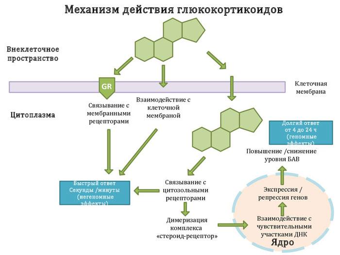 действие ингаляционных глюкокортикостероидов
