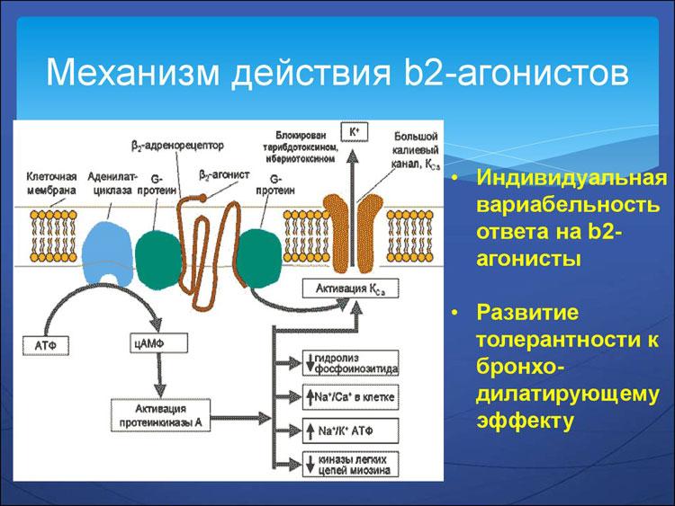 базисная терапия бронхиальной астмы у взрослых