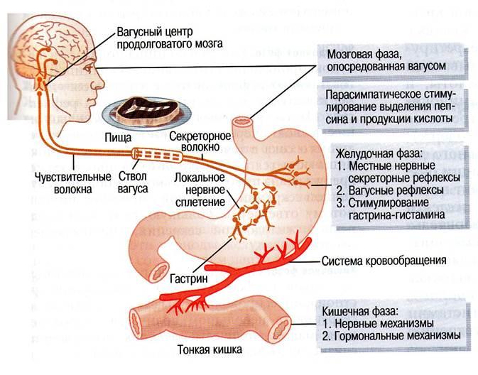 астма от желудка
